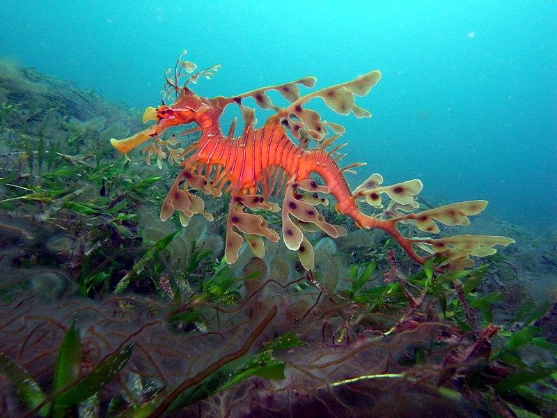 sea dragon aquarium