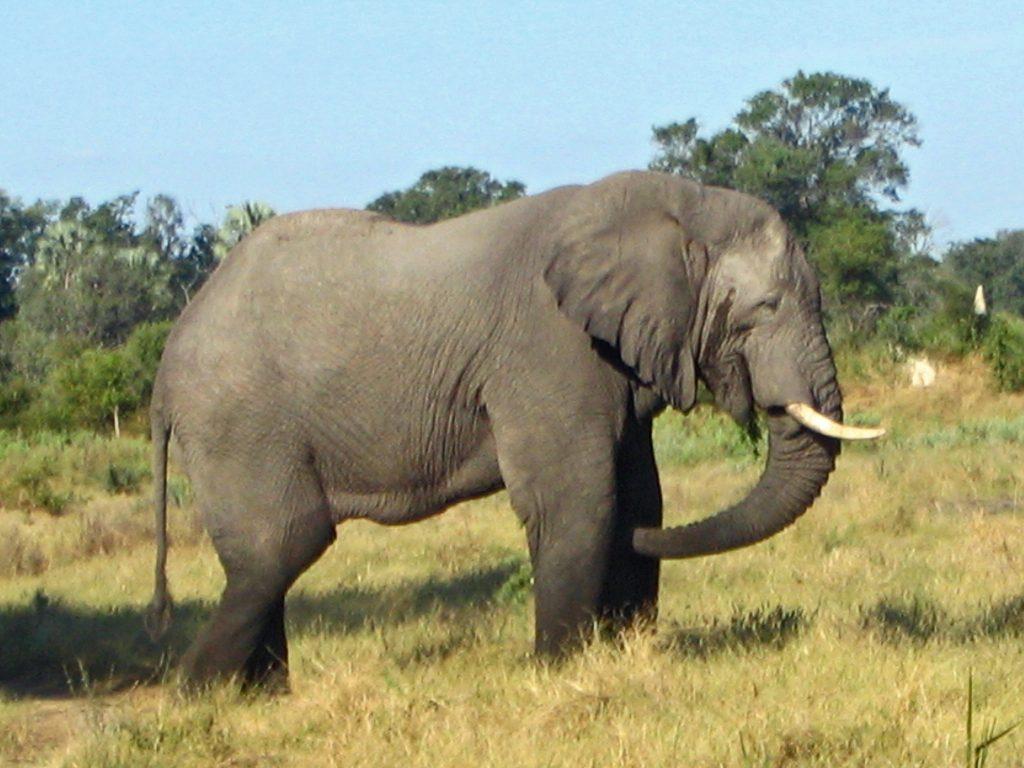 botswana elephants, zimbabwe elephants