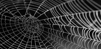 spiders in australia