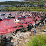 Annual Whale Slaughter Tradition in Denmark Turns Sea Red, Over 100 Whales Killed