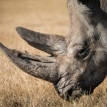 Last Male Sumatran Rhino Dies in Malaysia, Nation Mourns Loss of Extinct Species