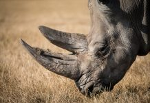 Malaysia rhino extinct