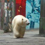 'Starving' Polar Bear Found Wandering City Streets in Siberia