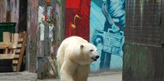 polar bear siberia