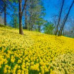 Famous Daffodil Hill in California Closes Down Due to Over Tourism, Social Media to Blame