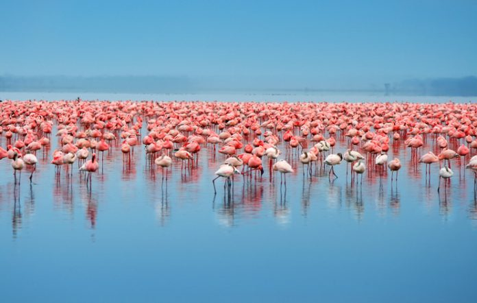 A flock of flamingos in the water