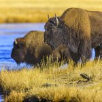 Charging Bison At Yellowstone Injures 9-Year-Old Girl