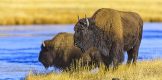 Bison at Yellowstone National Park - crossing the Firehole River