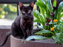 Cute black Bombay kitten standing in plant pot outdoors, looking at camera