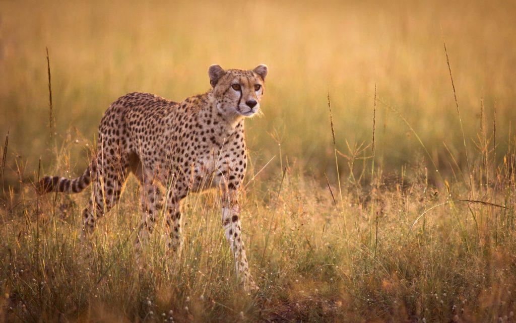 Stalking cheetah, fastest wildcat