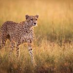 Cheetahs Reintroduced At Majete Wildlife Reserve in Malawi