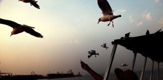 Seagulls flying over sea water and eating food by giving old man.