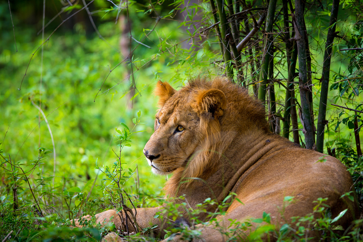 wildlife, lion, the king of the jungle, cat family
