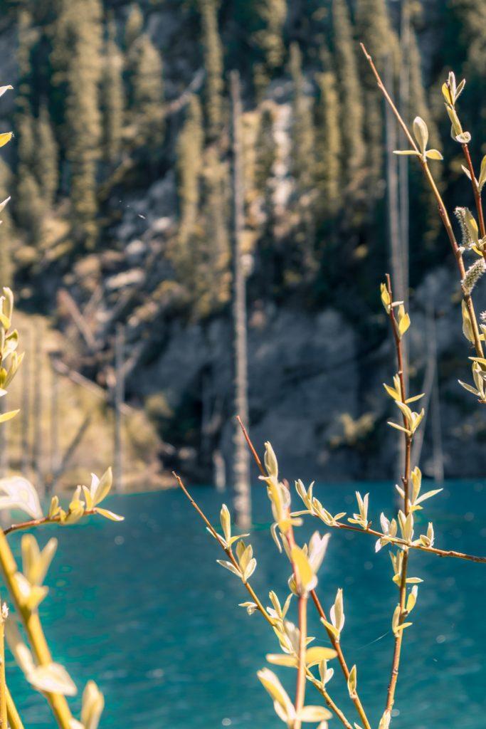 Sunken Trees Kaindy Lake Kazakhstan.