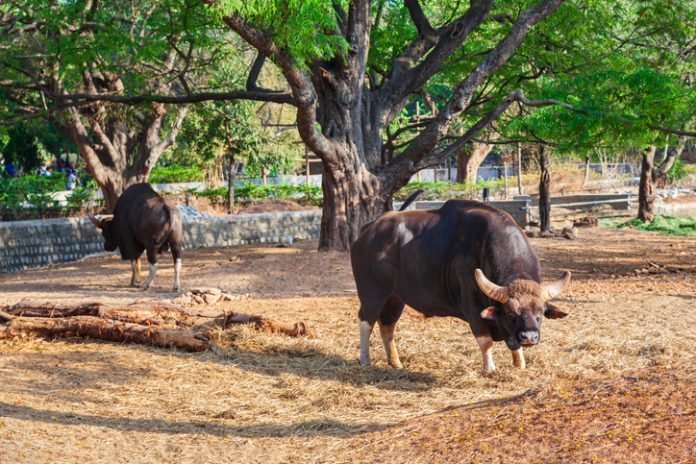 Buffalo in the Mysore Zoo
