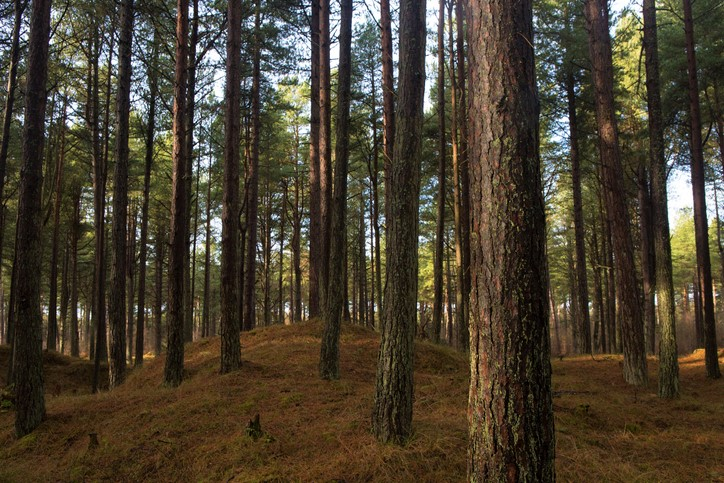 Pine trees within Tentsmuir Forest, Fife, tay county, Scotland