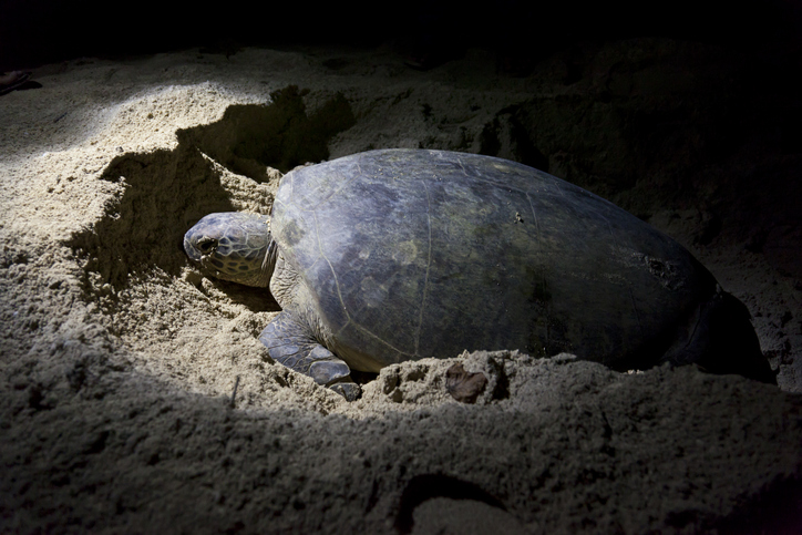 Green turtle laying eggs at Turtle Island Park, Sabah, Malaysia
