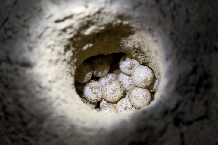 Green sea turtle eggs in a sand hole at hatchery site