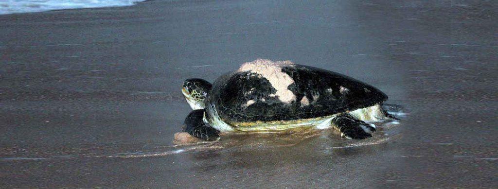 Turtle watching Oman