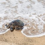 Turtle Watching In Oman - Nature At Its Finest!
