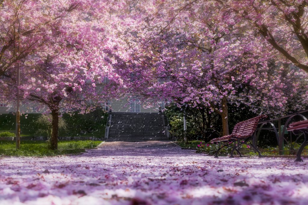 Why We Ll Have To Wait Till Next Year To Enjoy The Cherry Blossoms In Japan Travel Earth