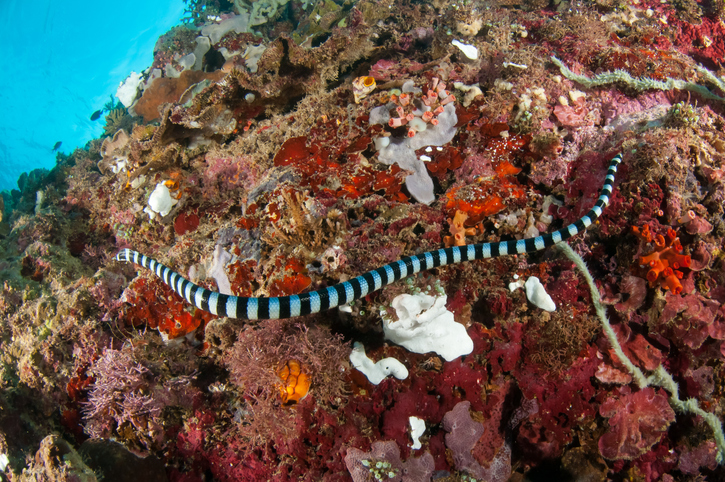 Belcher's sea snake one of the most dangerous snakes in the world