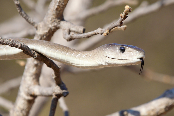 The Black mamba, one of the fastest and most dangerous snakes