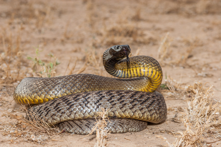 Inland Taipan, dangerous snakes in the world