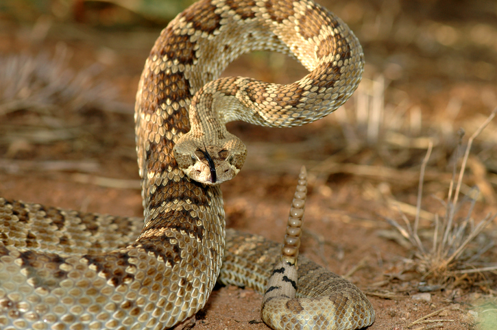 The Mojave Rattlesnake, a deadly snake in a defensive position