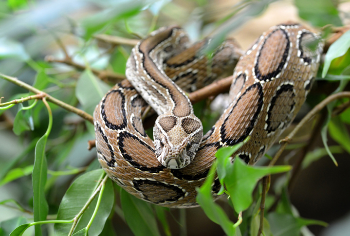 Russell's Viper is one of the most venomous snakes