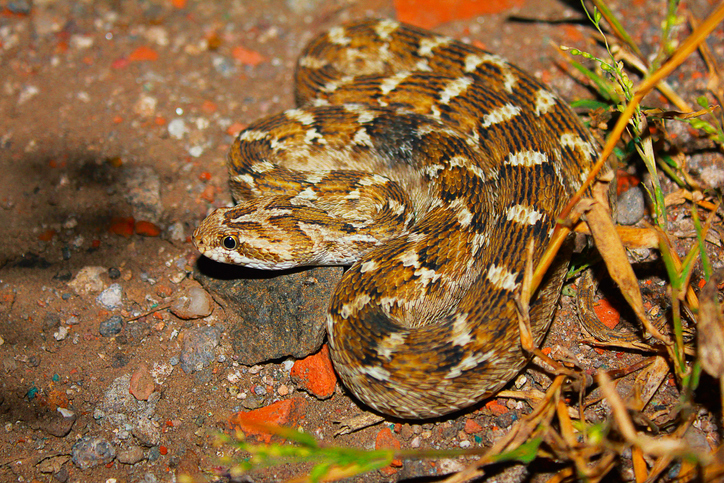 Deadliest snake in the world, the saw-scaled viper