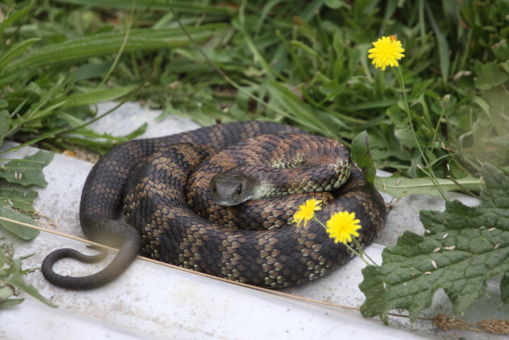 One of the most dangerous and venomous snakes in the world, the Tiger Snake