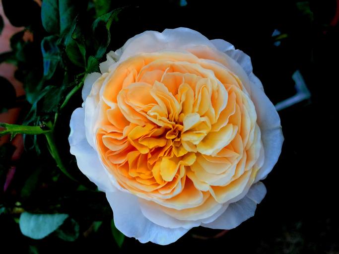 Juliet rose, rare roses
