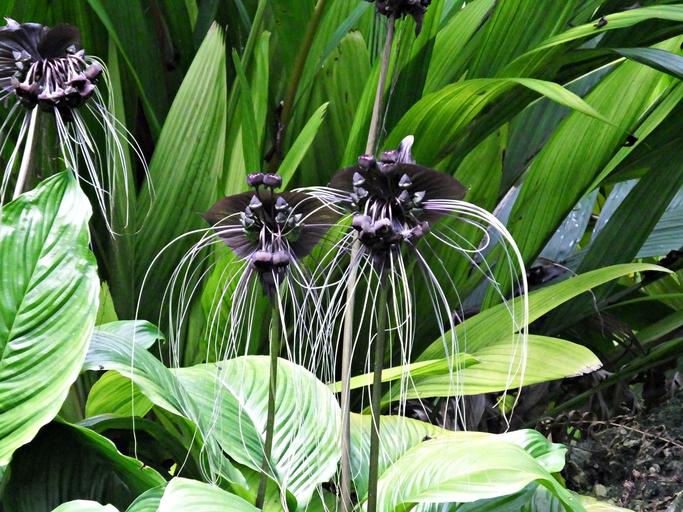 Black bat flowers
