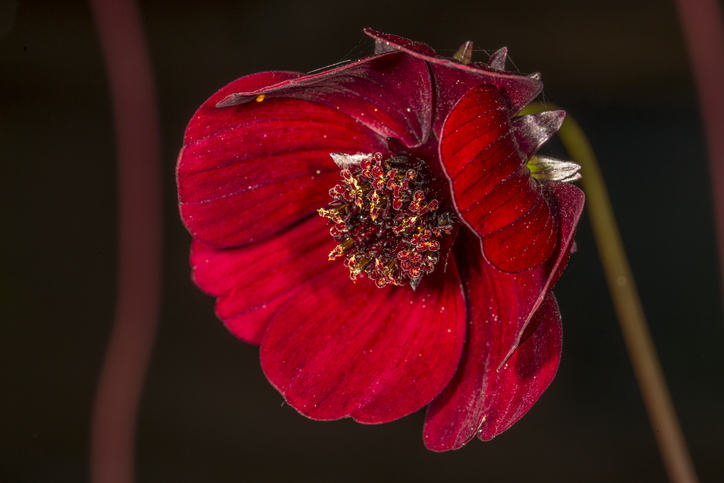 Chocolate Cosmos, rare flowers in the world