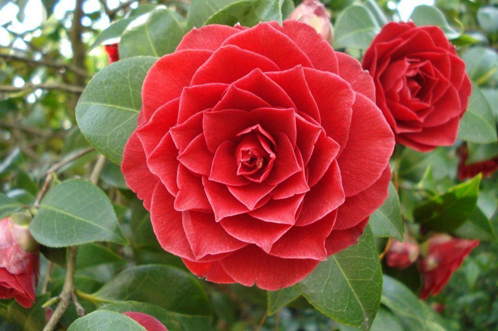 Middlemist's red flower
