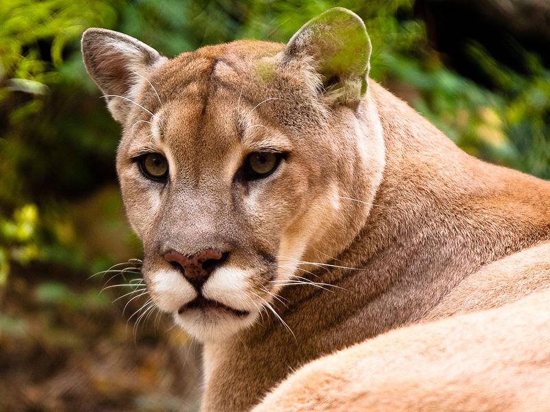 A puma or cougar, Biggest Cats
