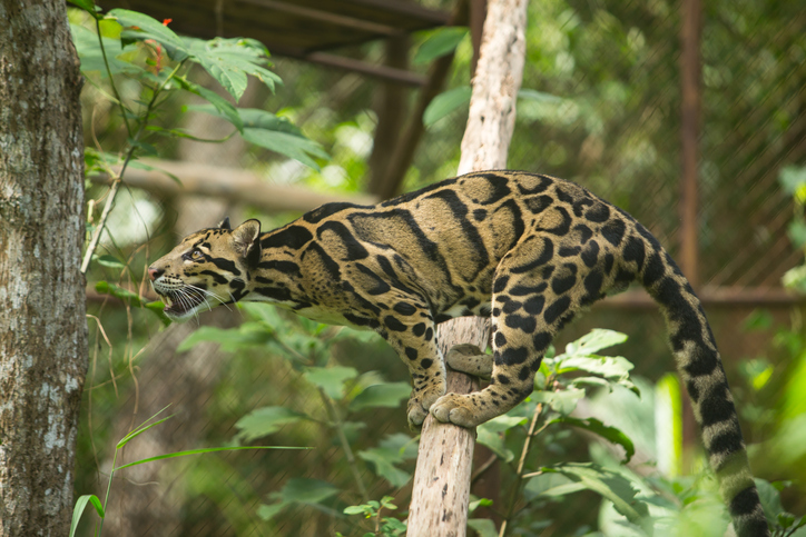Clouded leopard, the most secretive and rare member of the large cat family