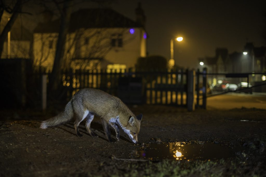 Urban red fox scavenging for food on the edge of a park in residential north London at night.