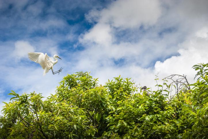 A flying crane landing on a tree in Ranganathittu Bird sanctuary Karnataka