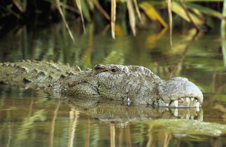 Indian Marsh crocodile