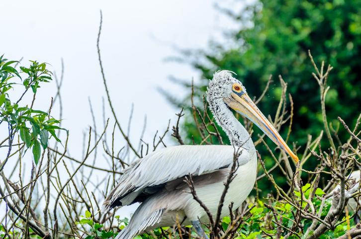 Spot Billed Pelican - Migratory Bird found in Karnataka, India