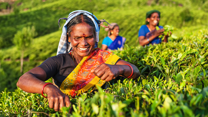 Women collecting tea leaves in Southern India, Kerala