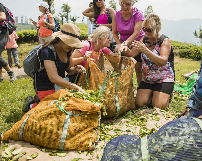 Group of tourists helping tea pickers harvest fresh tea leaves from a tea plantation in Kerala, India