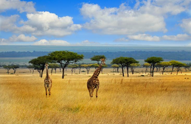View giraffes strolling on the open savannah in the masai mara on a safari in africa