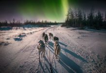 A group of husky dogs harnessed together run through snowy boreal forest. Green color aurora borealis in the background sky of northern lights in Canada