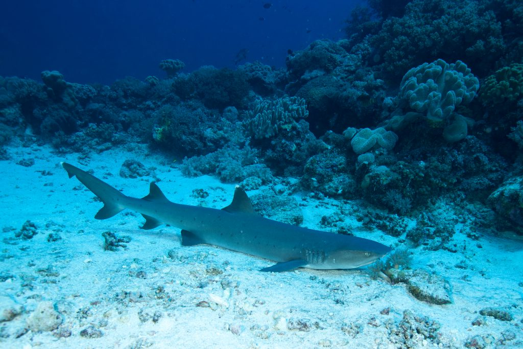 Nurse shark on sandy ground underwater at Layang Layang, malaysia