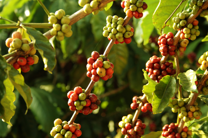 Coffee berries, things to do in Chikmagalur