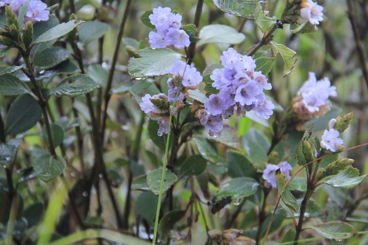 Neelakurinji flowers that blossoms only once in 12 years.