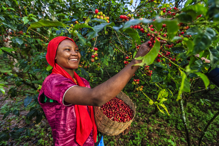 coffee production, Young African woman collecting coffee berries from a coffee plant, Ethiopia, Africa.